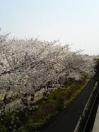 Sakura_hanami